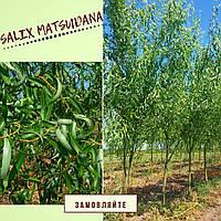 """Верба звивиста """"Матсуда""""\ Ива Матсудана/ Salix matsudana   2,5-2,7 м, фото 1"""