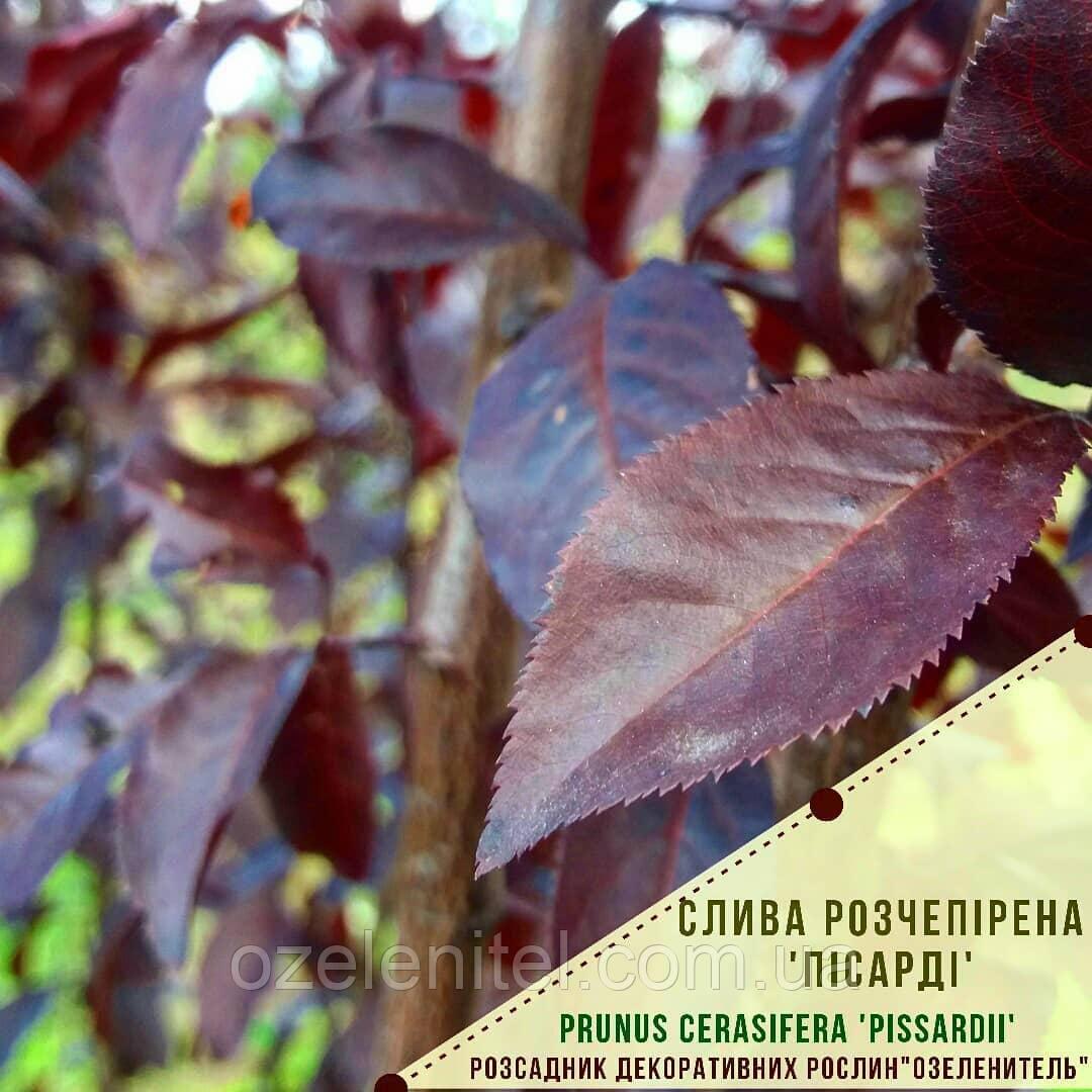 Слива растопыренная 'Писсарди'/ Слива розчепiрена 'Пiсардi'/Prunus cerasifera 'Pissardii'