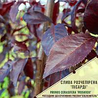 Слива растопыренная 'Писсарди'/ Слива розчепiрена 'Пiсардi'/Prunus cerasifera 'Pissardii', фото 1