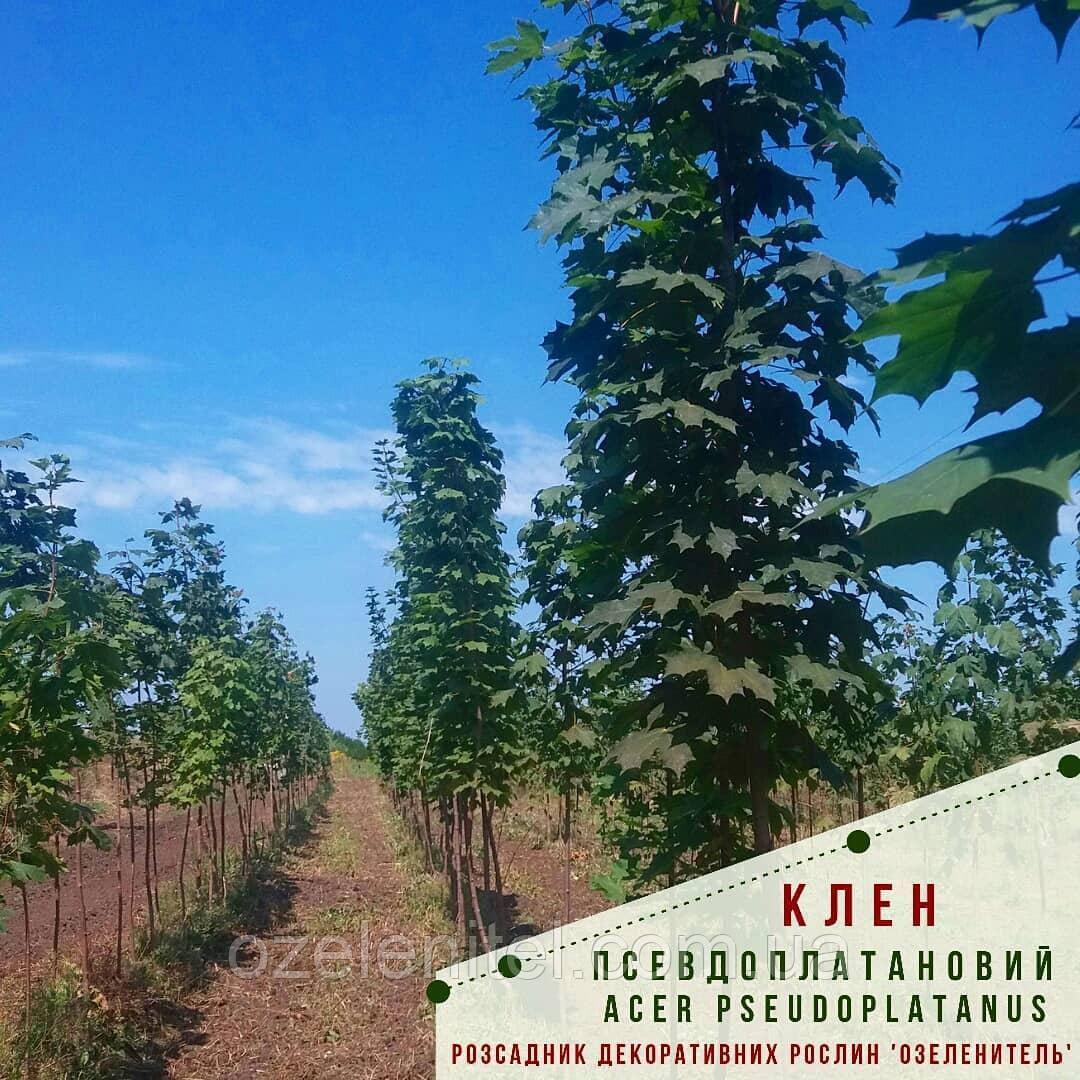 Клен ложноплатановый (явор) / Acer pseudoplatanus / Клен псевдоплатановий