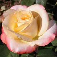 Роза чайно-гибридная Бель Перль