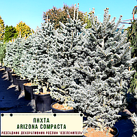 Пихта 'Arizona Compacta'  h 1,0 - 1,2 м