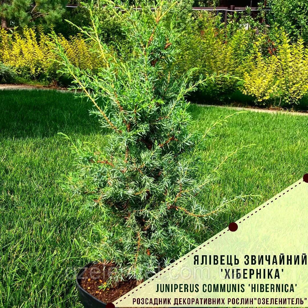 "Можжевельник обыкновенный 'Хиберника' / Juniperus communis ""Hibernica"" / Ялівець звичайний ""Хіберніка"""
