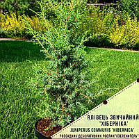 "Можжевельник обыкновенный 'Хиберника' / Juniperus communis ""Hibernica"" / Ялівець звичайний ""Хіберніка"", фото 1"