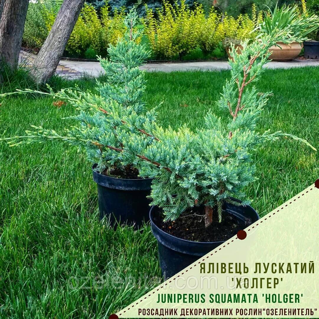 Ялівець лускатий 'Холгер'/ Juniperus squamata 'Holger'