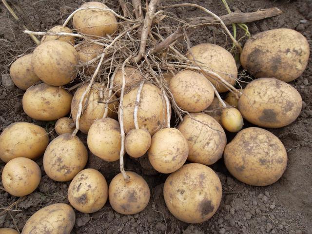 Картопля удача