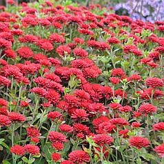 Хризантема шаровидная красная (Мультифлора)