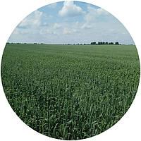 Насіння ярої пшениці Сімкода Миронівська (СН, перша)