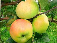 Саженцы яблони пепенка Золотистая (двухлетние)  осеннего срока созревания