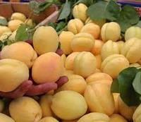 Саджанці абрикоса ШАЛАХ (дворічні) середнього терміну дозрівання