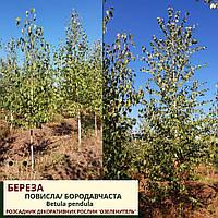Береза  повисла, бородавчаста/ Betula pendula h 3,0-3,5 м