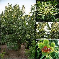Саджанці каштану їстівного (Castanea sativa) 40-60 см, фото 1