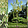 Клен ясенелистный 'Вариагатум'/ Acer negundo 'Variegatum'/ Клен ясенелистий 'Варіагатум', фото 3