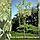 Клен ясенелистный 'Ауревариагата'/ Acer negundo 'Aureovariegata'   3,5 м, фото 2