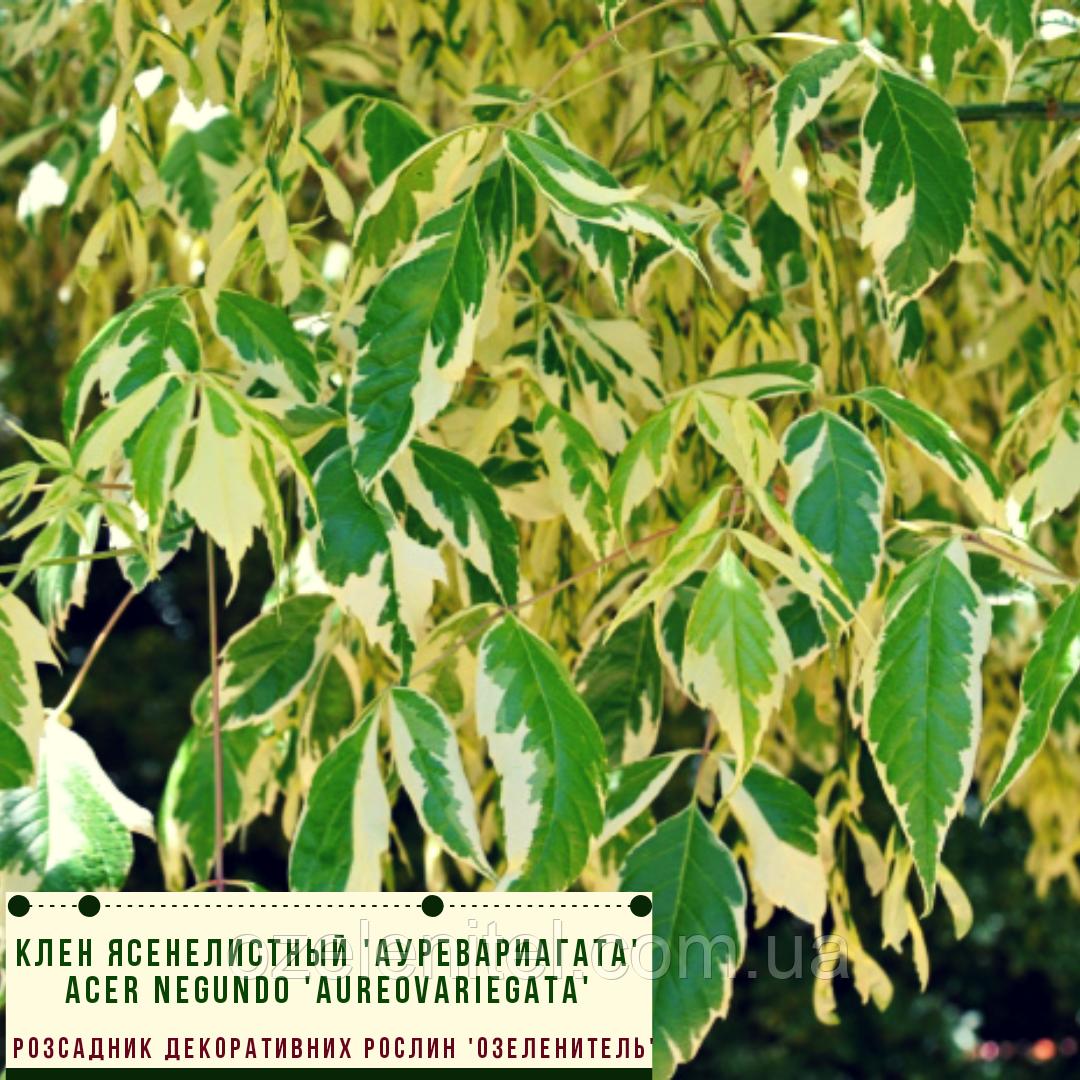 Клен ясенелистный 'Ауревариагата'/ Acer negundo 'Aureovariegata'   3,5 м