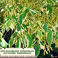 Клен ясенелистный 'Ауревариагата'/ Acer negundo 'Aureovariegata'   3,5 м, фото 1