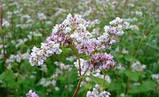 Цветы гречки 50 грамм, фото 2