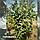 Рябина скандинавская / Sorbus intermedia / Горобина скандинавська, фото 4