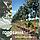 Рябина скандинавская / Sorbus intermedia / Горобина скандинавська, фото 3