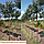 Рябина скандинавская / Sorbus intermedia / Горобина скандинавська, фото 2