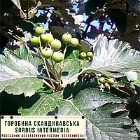 Рябина скандинавская / Sorbus intermedia / Горобина скандинавська, фото 1
