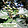 Рябина скандинавская (мультиштамб) / Sorbus intermedia / Горобина скандинавська (мультиштамб), фото 4
