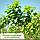 Катальпа бигнониевидная/ Catalpa bignonioides Екстра (обхв.ств. 8 - 10 см), фото 3