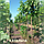 Катальпа бигнониевидная/ Catalpa bignonioides Екстра (обхв.ств. 8 - 10 см), фото 2