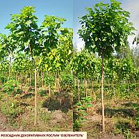 Катальпа бигнониевидная/ Catalpa bignonioides Екстра (обхв.ств. 8 - 10 см)
