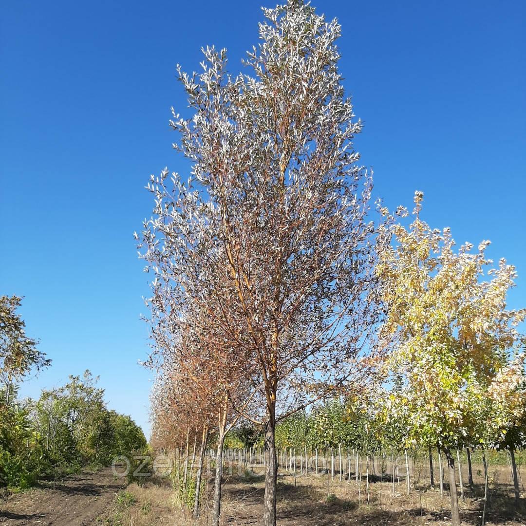 Ива красная/ Salix acutifolia   2.5 - 3.0 м