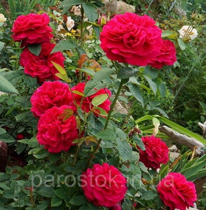 Английская роза Л. Д. Брейтвейт. (с).