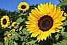 В Україні проходить реєстрацію новий гібрид соняшника до 2-х груп гербіцидів одночасно.