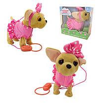Собака на повідку ходить типу Чи Чи лав Співаючий щеня - співає, гавкає, гуляє на повідку