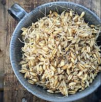 ОВЕС Микрозелень, зерно семена овса органического для проращивания 200 грамм, фото 1