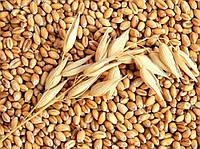 """Семена озимой пшеницы """" Чорнява """" єлит"""