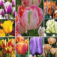 Тюльпан смесь цветов, 10 шт