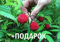 Малина мяо-мяо семена 10 шт тибетская розолистная Rúbus rosifólius для саженцев