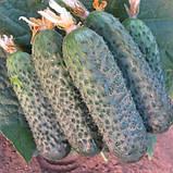"""Семена огурца """"Директор"""" F1 (500 семян) от Nunhems, фото 2"""