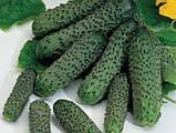 """Семена огурца """"Пасалимо"""" F1 (500 семян) от Syngenta, фото 2"""