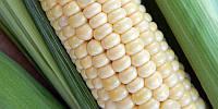 Сахарная кукуруза Андреевский (Белая)
