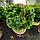 Сосна гірська 'Мопс'/ Pinus mugo 'Mops' h 40-60 см, фото 4