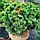 Сосна гірська 'Мопс'/ Pinus mugo 'Mops' h 40-60 см, фото 3