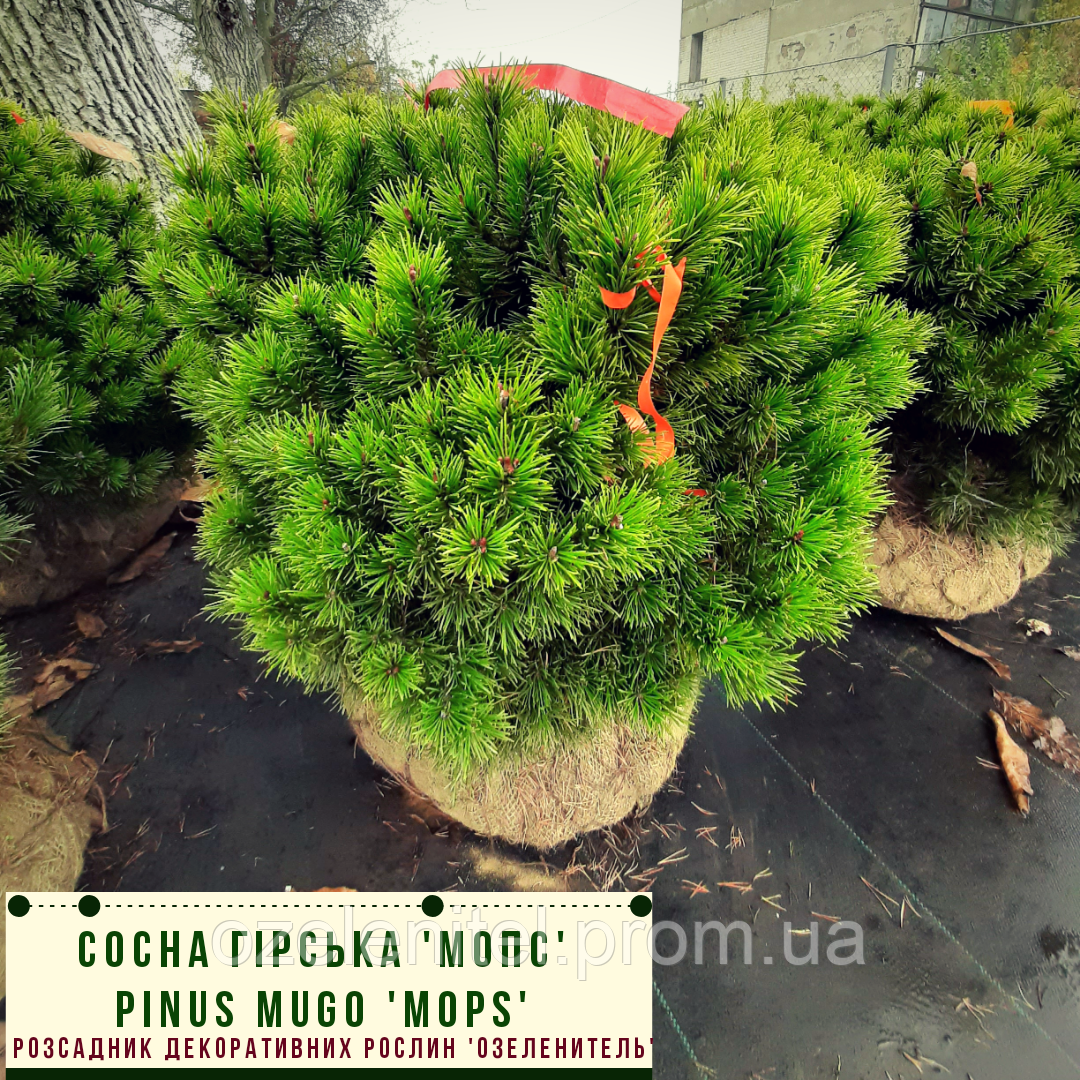 Сосна гірська 'Мопс'/ Pinus mugo 'Mops' h 40-60 см