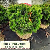 Сосна гірська 'Мопс'/ Pinus mugo 'Mops' h 40-60 см, фото 1