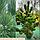 Сосна чорна 'Орегон Грін'/ ' Pinus nigra 'Oregon Green' 1,0-1,1 м, фото 4