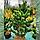 Сосна черная 'Орегон Грин' / ' Pinus nigra 'Oregon Green' / Сосна чорна 'Орегон Грін', фото 3
