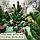 Сосна чорна 'Орегон Грін'/ ' Pinus nigra 'Oregon Green' 1,0-1,1 м, фото 2