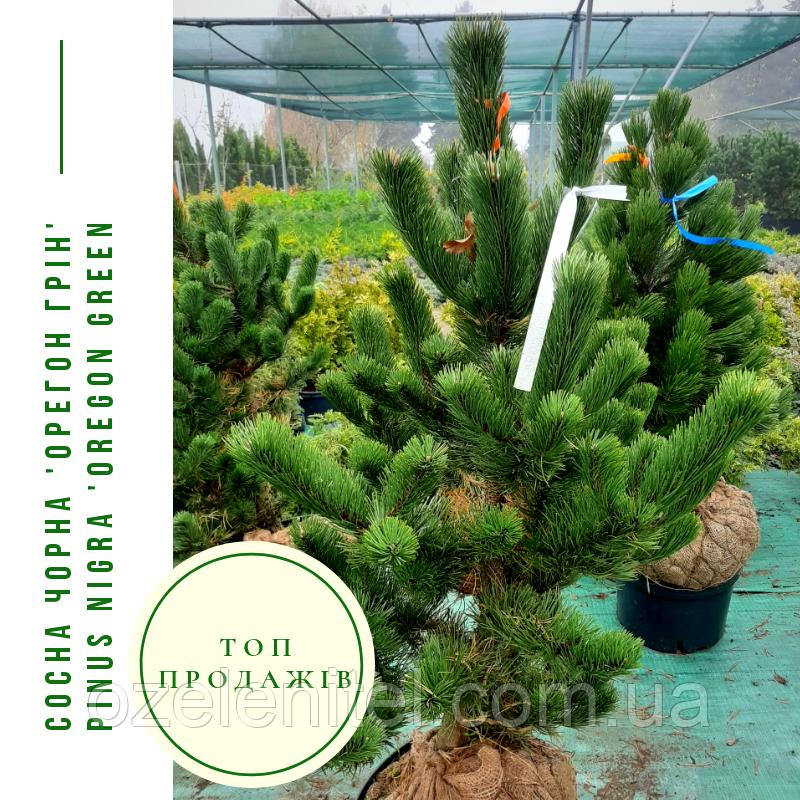 Сосна черная 'Орегон Грин' / ' Pinus nigra 'Oregon Green' / Сосна чорна 'Орегон Грін'