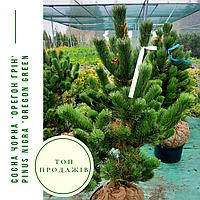 Сосна черная 'Орегон Грин' / ' Pinus nigra 'Oregon Green' / Сосна чорна 'Орегон Грін', фото 1