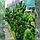 Сосна гірська 'Гном' Pinus mugo 'Gnom'h  1,4-1,6, фото 3